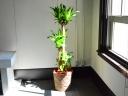 観葉植物 【幸福の木 ドラセナマッサン】