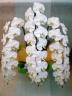 白い胡蝶蘭 3F