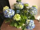 ◆雷電◆ 爽やかなブルー紫陽花 7号大きいです