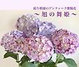 ◆旭の舞姫◆ 珍しいマーブル模様
