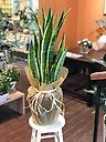 観葉植物*サンスベリア