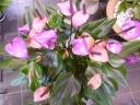 紫のアンスリューム フィオリノ 8号鉢
