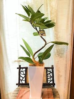 観葉植物*アルテシーマ*