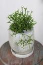 リプサリス 陶器鉢