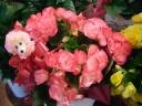 リーガスベゴニア*おまかせ鉢カバー付(ピンク)