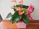 母の日☆アンスリウム鉢【ピンク】鉢カバー入り