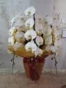 胡蝶蘭 白色3本立て