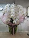 胡蝶蘭 白色5本立て