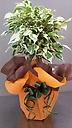 大好きな方へ・・・斑入りベンジャミン(観葉植物)