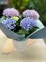 ピンク・パープル系人気の紫陽花