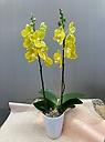 個性的 幸せの黄色胡蝶蘭