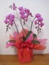 ミニ胡蝶蘭濃いピンク 3本立ち