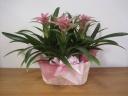 グズマニア ピンク 3鉢セット