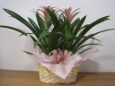 グズマニア ピンク 2鉢セット