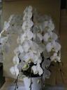 胡蝶蘭5本立ち
