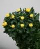 特選菊、黄色。お墓参りやご仏前に。