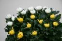 特選菊、黄・白ミックス。お墓参りやご仏前に。