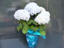 雨の日も好きになる澄んだブルーのあじさい☆
