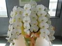 胡蝶蘭(白3本立)
