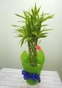 【観葉植物】ラッキーバンブー