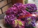 ♪あじさい紫♪5寸mother'sdayタグ付