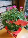 ミニバラ鉢【アーチ】ピンク♪