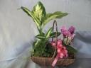 胡蝶蘭+ミニ観葉植物