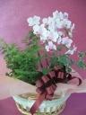 胡蝶蘭・アジアンタム鉢物