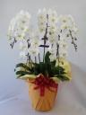 胡蝶蘭ホワイト5本花