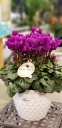 シクラメンセレナーディア鉢カバーセット