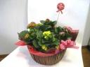 人気のカランコエの寄せ鉢セット