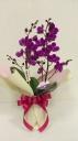 ミディ胡蝶蘭 赤紫