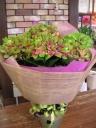 紫陽花(ロイヤルグリーン)