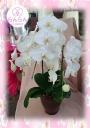 かわいいミディ胡蝶蘭3本立