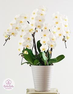 大輪胡蝶蘭 5本立ち50輪以上 白