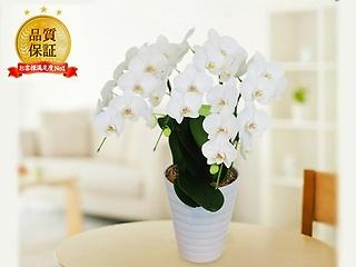 ミディ胡蝶蘭 3本立 白色