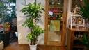 観葉植物 マッサン 「幸福の木」