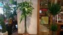 観葉植物 パキラ (アミ)
