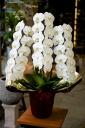 最高級胡蝶蘭3本立(白)