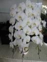 胡蝶蘭3本立 13輪×3本