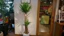 観葉植物「ユッカ」 白陶器鉢植え