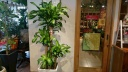 観葉植物 マッサン「幸福の木」 白陶器鉢カバー付き