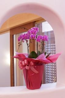 胡蝶蘭ミディ3本立(ピンク