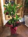 観葉植物 マッサン 「幸福の木」 7号
