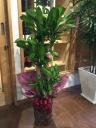 観葉植物 マッサン 「幸福の木」 8号
