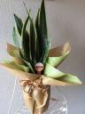 観葉植物「サンセベリア」陶器鉢