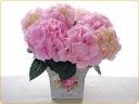 優しいピンクの紫陽花♪