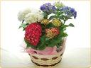 魅惑の色合い、紫陽花、3色セット♪