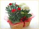 紫陽花とカーネーションの寄せ鉢♪