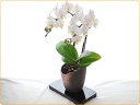 白のコチョウラン、信楽焼の鉢植え♪
